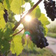 grapes and sunlight