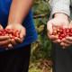coffee cherries in hands