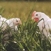 Rossdown Chickens