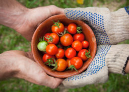 handing tomatoes