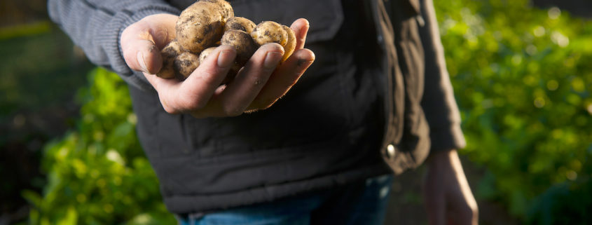 holding potatoes